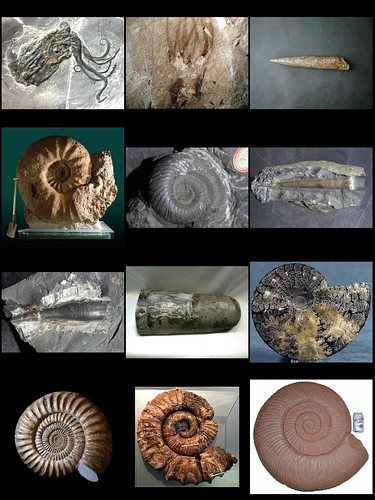 fossil_cephalopods