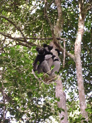 Mama Indri with baby on her back.
