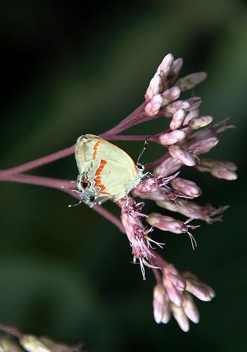Butterfly on Joe-Pye