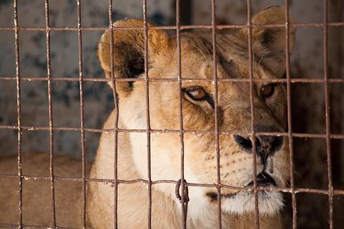 La leona pensativa