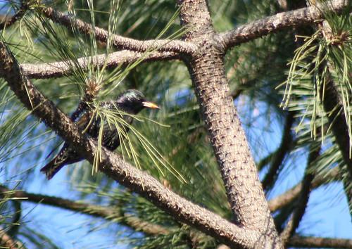 European Starling2