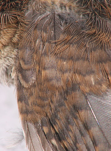 House Wren wing