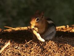 Ecureuil degustant son pain de mie