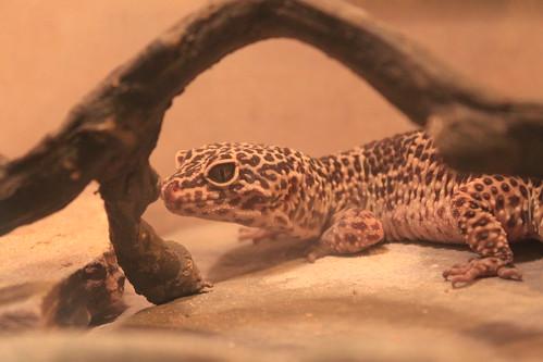 Seattle - Pacific Science Center - Leopard Gecko