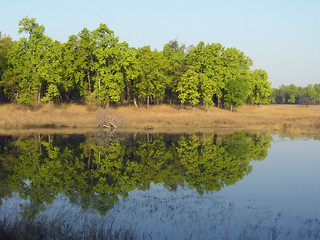 Sal trees around the watering hole at Bandhavgarh