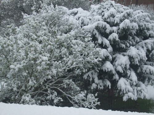Snow clumped on trees