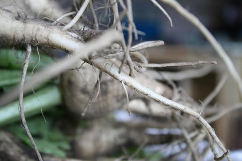 Turnip tails