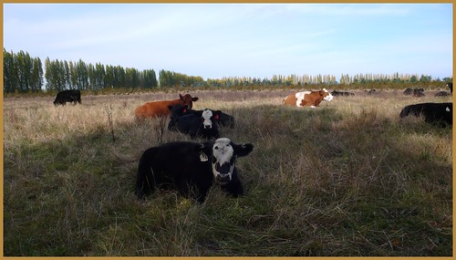 Cow pasture, Sequim, Washington.