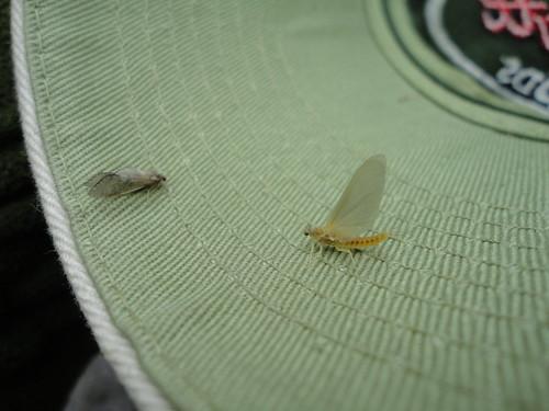 Caddis and Sulphur Mayfly