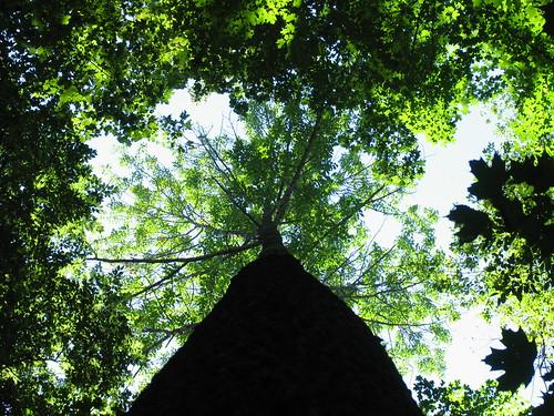 White ash canopy