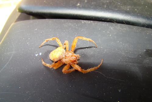virginia spider