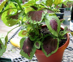 Coleus in summer