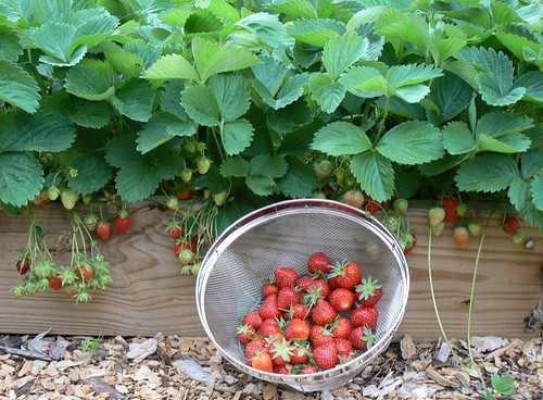 stawberry crop.JPG