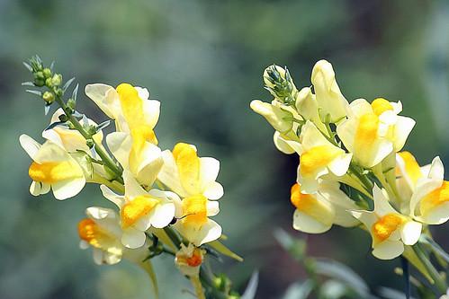 Butter-and-Eggs and bokeh (Foto op Flickr van CRimages)