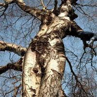 amazing_tree
