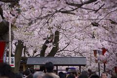 2008高遠城址公園桜まつり 1