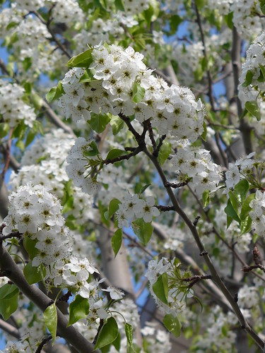 White Tree Flowers