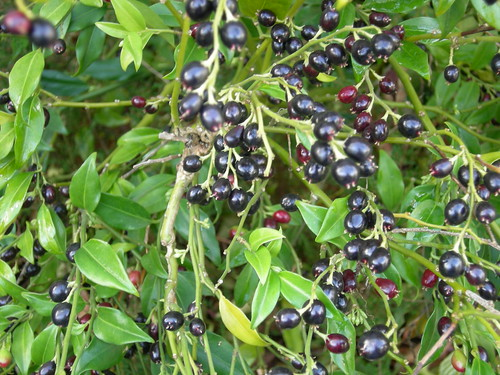 Sarcococca berries changing to black