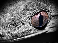reptilian stare