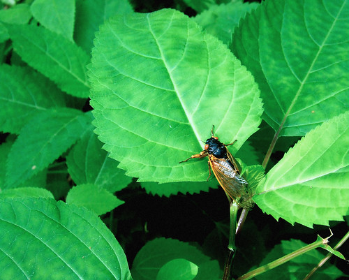 horsebalm with periodical cicada