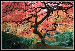 jap_garden_maple_tree