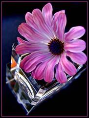 Daisy Over Glass