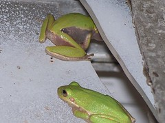 Green Tree Frogs in the bathroom
