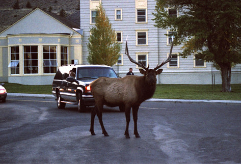 US Yellowstone Elk