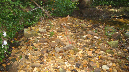 20080914 - cats visit our creek - 168-6804 - Lemonjello - on the rocks - please click through to leave a comment on FlickR