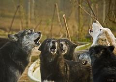Wolf Seranade