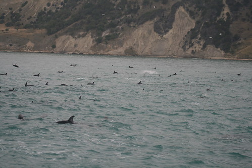 Dusky dolphins playing