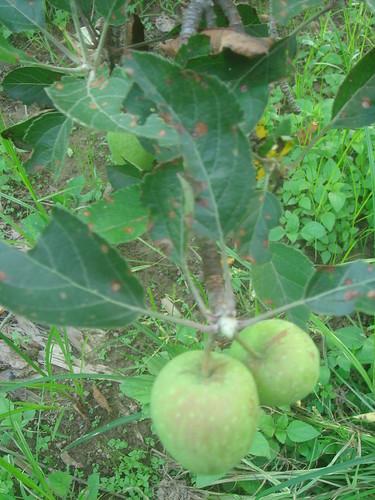 青蘋果_4