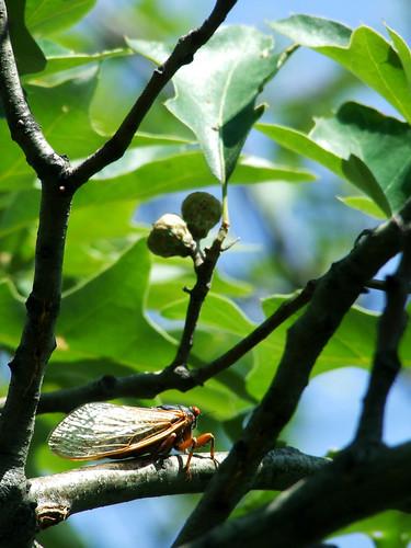 cicada in scrub oak