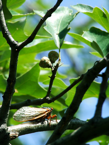 cicada in scrub oak