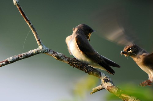 Northern Rough-winged Swallow - feeding
