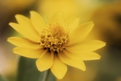 The Tiny Yellow Flower - Soft and Faded