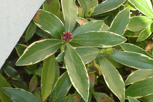 Daphne odora flower bud