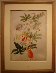 Passionflower (by Maria Sibylla Merian)