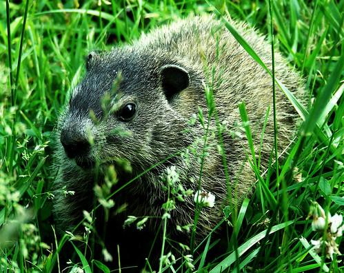 half-grown groundhog