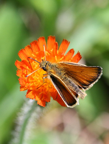 Orange Hawkweed with skipper