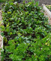 beetroot bed