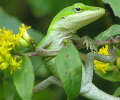 baby Green Anole just hanging around