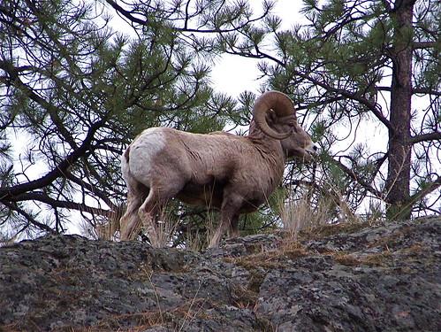 Rocky Mountain Big Horn ram