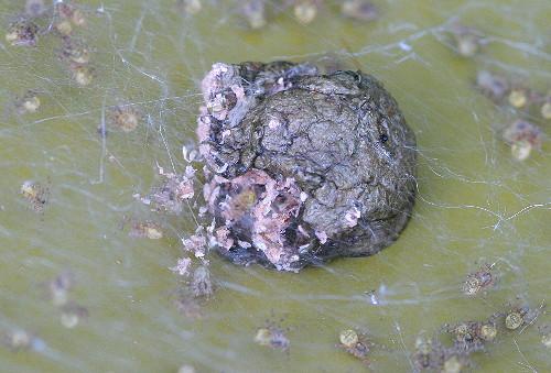 Dock spider egg mass