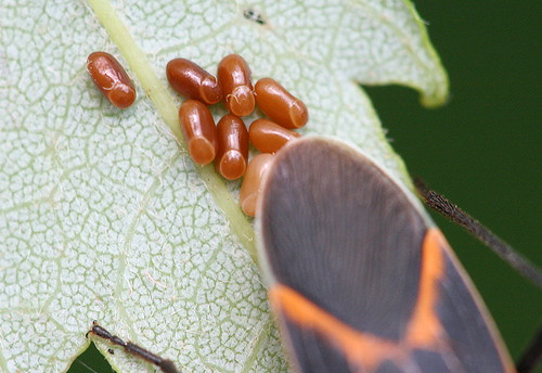 Box Elder Bug eggs