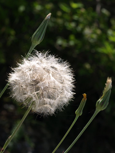 Goat's Beard Going to Seed