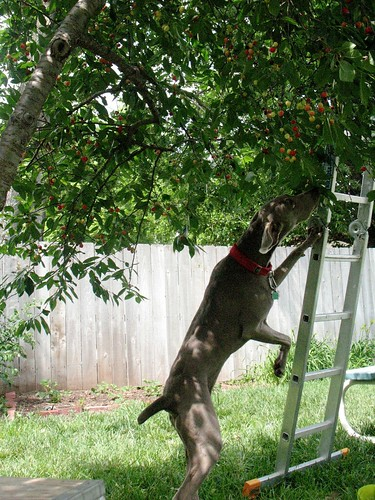 cherry eating weim