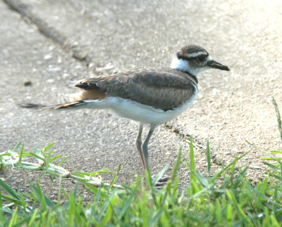 DSC_0011ABC-Killdeer-1