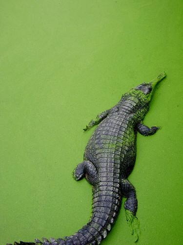 Krokodil im Zoo Bangkok