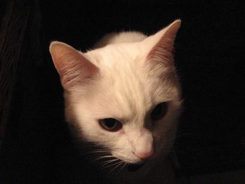Cat Head